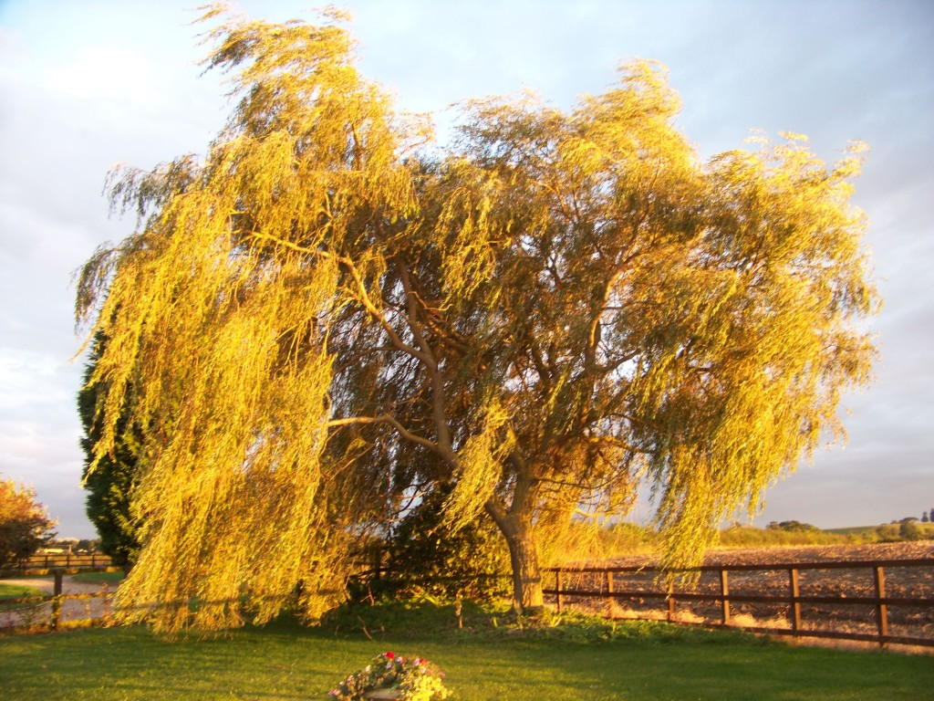 Waving Willow Tree